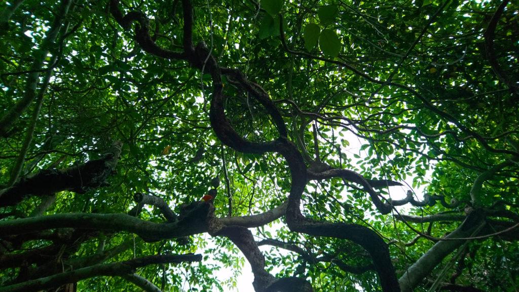 奄美大島の植物